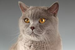 Kat op grijze achtergrond Royalty-vrije Stock Fotografie
