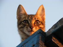 Kat op het dak Stock Foto