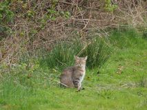 Kat op het gebied in de aard Royalty-vrije Stock Foto's