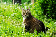 Kat op het gebied met een paardebloem Royalty-vrije Stock Foto