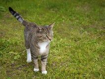 Kat op het Gras Stock Fotografie