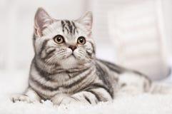 Kat op het tapijt stock afbeelding