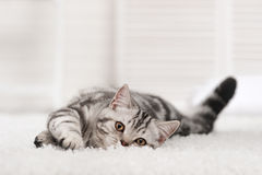 Kat op het tapijt royalty-vrije stock fotografie