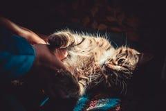Kat op het tapijt Royalty-vrije Stock Foto's