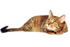Kat op het wit Stock Afbeeldingen
