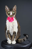 Kat op kruk Royalty-vrije Stock Foto