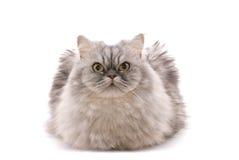 Kat op wit Royalty-vrije Stock Afbeeldingen
