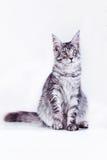 Kat op wit, katje, leuke, pluizige bal Royalty-vrije Stock Foto's