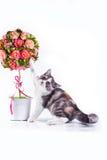 Kat op wit, katje, leuke, pluizige bal Royalty-vrije Stock Afbeelding