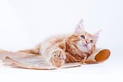 Kat op wit, katje, leuke, pluizige bal Royalty-vrije Stock Fotografie