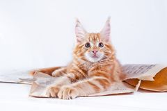 Kat op wit, katje, leuke, pluizige bal Stock Fotografie