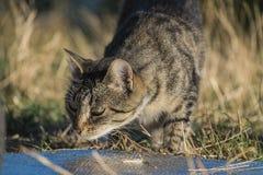 Kat op zoek naar voedsel Royalty-vrije Stock Afbeeldingen