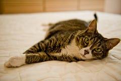 Kat Slapend op het Bed Stock Foto's