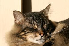 Kat slapend in zon Stock Fotografie