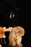 Kat in Spiegel Royalty-vrije Stock Fotografie