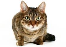 Kat tegen witte achtergrond Stock Foto's