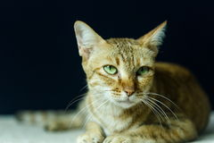 Kat, Thaise kat Stock Foto