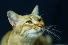 Kat, Thaise kat Royalty-vrije Stock Afbeeldingen