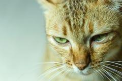 Kat, Thaise kat Stock Afbeeldingen