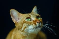 Kat, Thaise kat, nadruk op oog royalty-vrije stock foto's