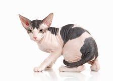 Kat Trek sphynx katje op witte achtergrond aan Royalty-vrije Stock Foto's