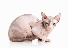Kat Trek sphynx katje op witte achtergrond aan Stock Foto