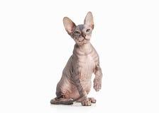 Kat Trek sphynx katje op witte achtergrond aan Royalty-vrije Stock Afbeeldingen