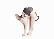 Kat Trek sphynx katje op witte achtergrond aan Royalty-vrije Stock Fotografie