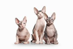 Kat Trek sphynx katjes op witte achtergrond aan Stock Foto's