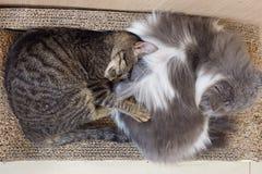 Kat twee Stock Afbeeldingen