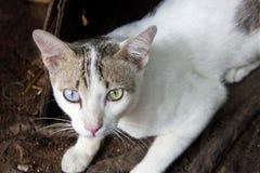 kat twee de kleur van het toonoog het letten op camera Stock Afbeelding