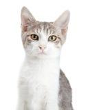 Kat van close-up de Jonge Aandachtige Gey Royalty-vrije Stock Foto's