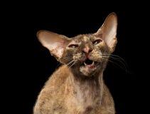 Kat van close-up de Mauwende Peterbald Sphynx op Zwarte royalty-vrije stock afbeelding
