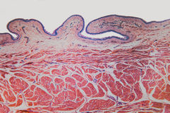 Kat van de cel de microscopische urineblaas Royalty-vrije Stock Foto's