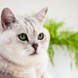Kat van de close-up de mooie, lichte schaduw met groene ogen op witte achtergrond Plaats voor uw tekst Stock Foto's