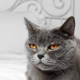 Kat van het Bbritish de korte haar royalty-vrije stock afbeelding