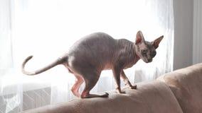 Kat van het Sphynx-ras in binnenlands vuilnis stock videobeelden