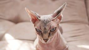 Kat van het Sphynx-ras in binnenlands vuilnis stock video