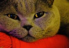 Kat van portret de Britse shorthair stock afbeelding