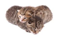 Kat, weinig 10 dagen oude katjes Royalty-vrije Stock Afbeeldingen