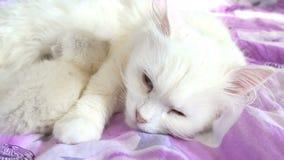 Kat witte het voeden katjesslaap op bedmoeder en zoon stock footage