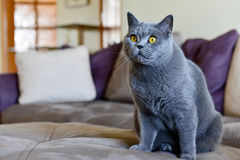 Kat in woonkamer Stock Fotografie