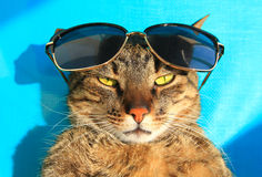 Kat in zonnebril Stock Afbeelding