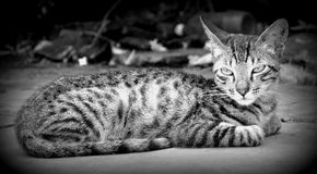 Kat in Zwart & Wit royalty-vrije stock afbeeldingen