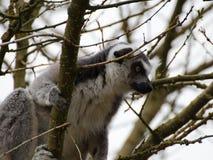 Kata лемура в дереве стоковые изображения