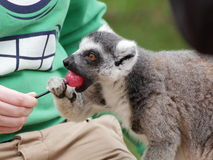 Kata лемура ест конфету стоковое фото rf