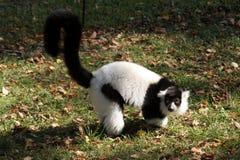 Kata de Lemur Image stock