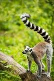 Kata delle lemure (catta delle lemure) Immagine Stock Libera da Diritti