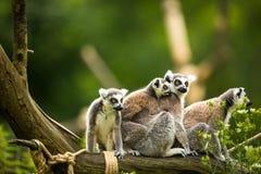 Kata delle lemure (catta delle lemure) Immagini Stock