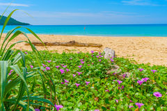 Kata Noi beach with twiner flowers in the foreground Royalty Free Stock Image